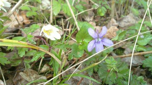 Wood Anemone, Dog Violet